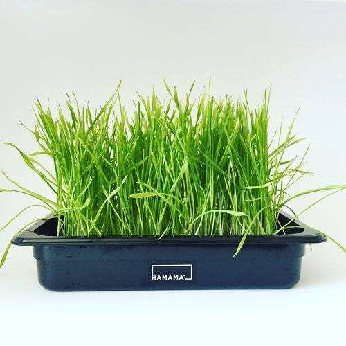 Fully grown homegrown wheatgrass in a grow tray.