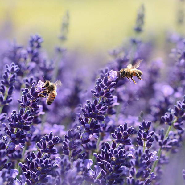 lavender-purple-bee-flower-purebee