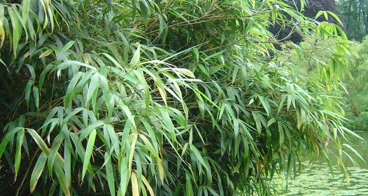 Bambus Fargesia