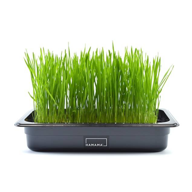 Wheatgrass kit to grow wheatgrass at home.