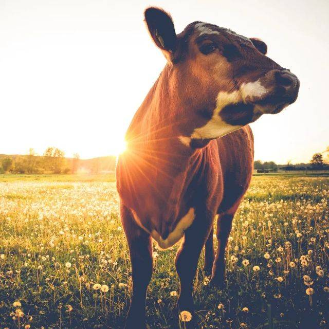 happy vegan cow