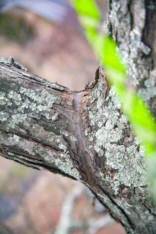Natural crotch mark
