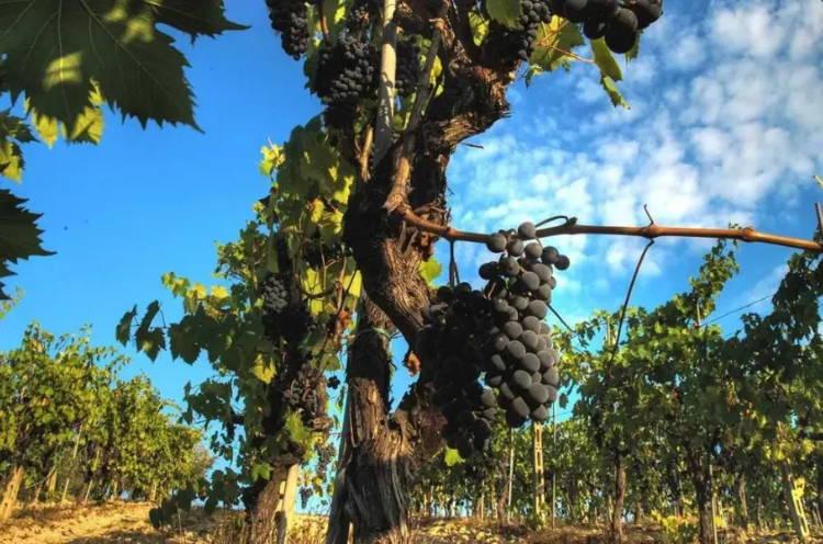 Vineyard Grapes at Corte Dei Venti - Montalcino;  Italian Wines distributed by Beviamo International in Houston, TX