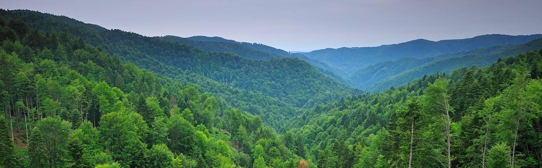 Beech Fir forest in Romania