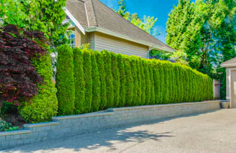 What Trees to Plant for Privacy