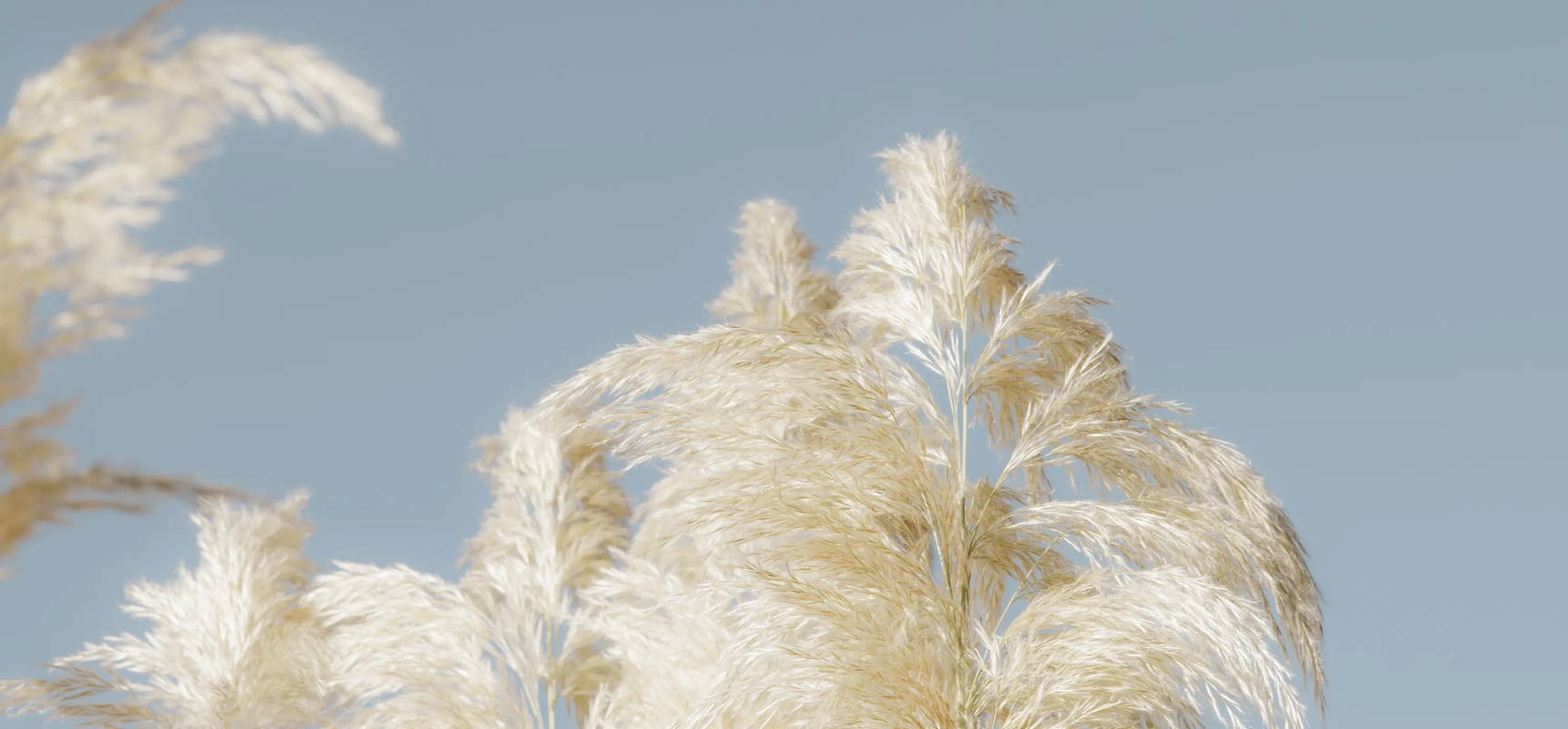 Tan weeds with a soft blue sky in the background