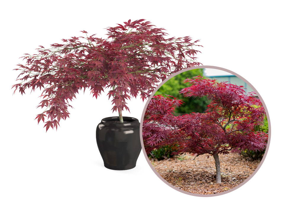 Top 10 Japanese Maple Tree Varieties Plantingtree