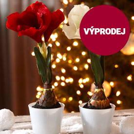 Pokojové vánoční rostliny