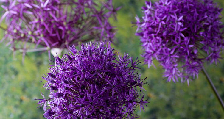 Alliums, Ornamental Onions