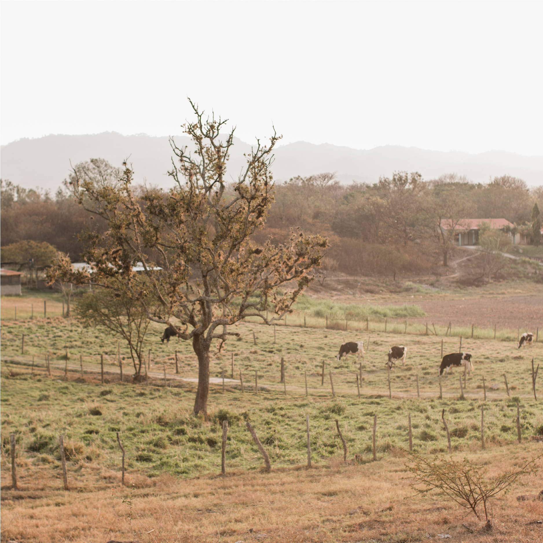 Several cows graze in a fenced in field at Good Shepherd Children's Home in the Zamarano Valley in Honduras.