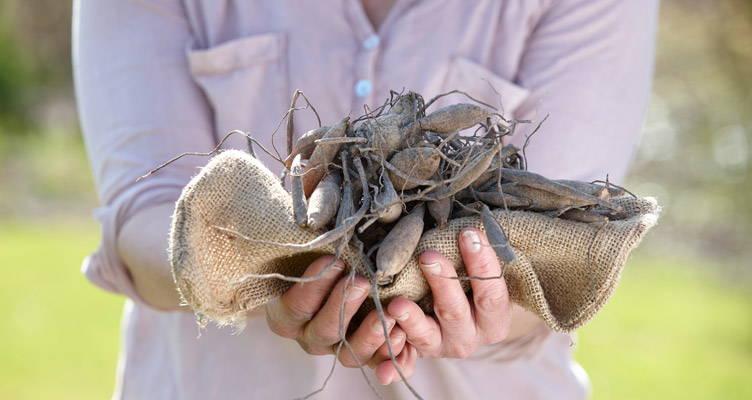 Dahlien können wieder gepflanzt werden