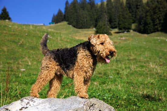 A Welsh Terrier stands on a rock in a field of green grass and trees