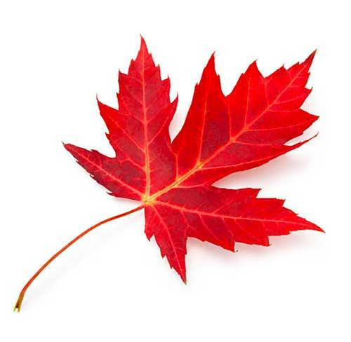 Red maple for sale
