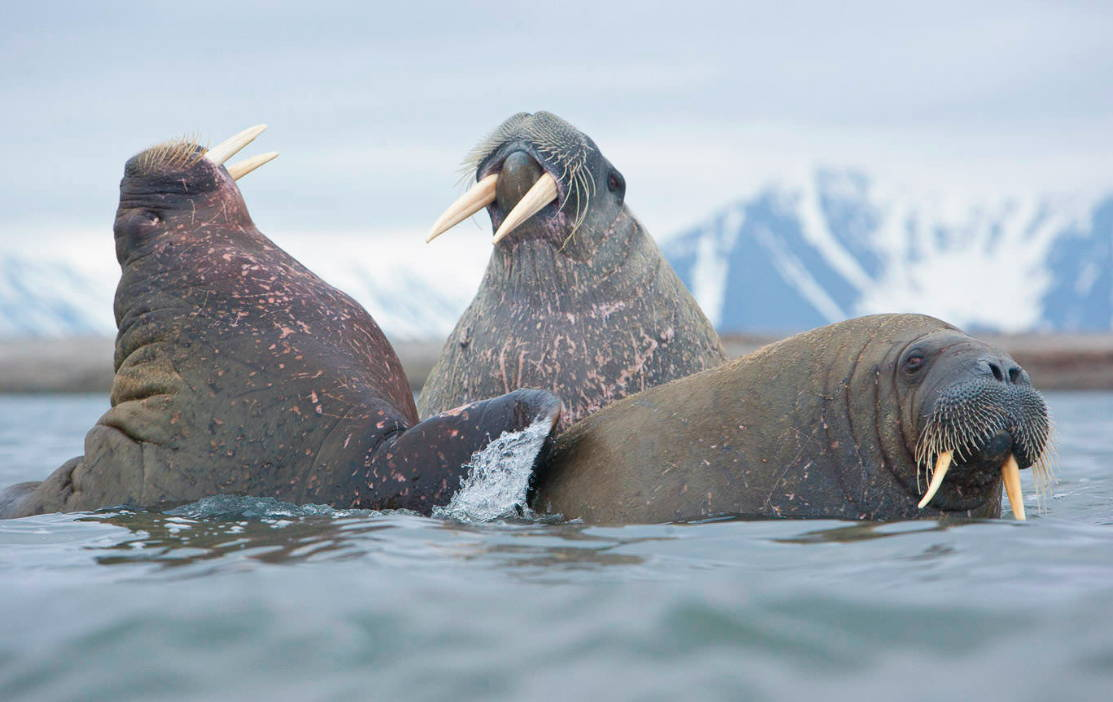 Walrus of Svalbard Norway Wildlife photography tour and expeditions