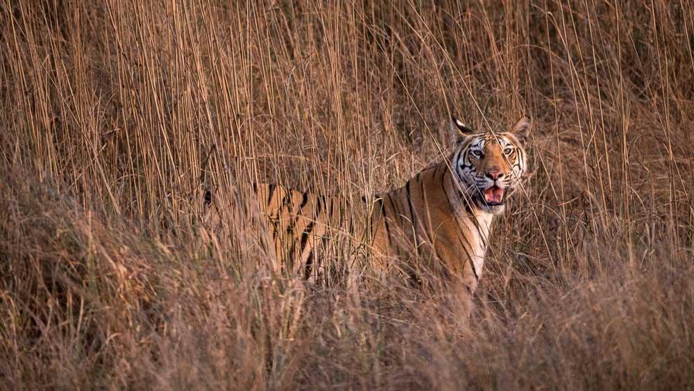 Travelbay India Tours - Customer Reviews - Simon & Gina in India - Kanha National Park Royal Bengal Tiger