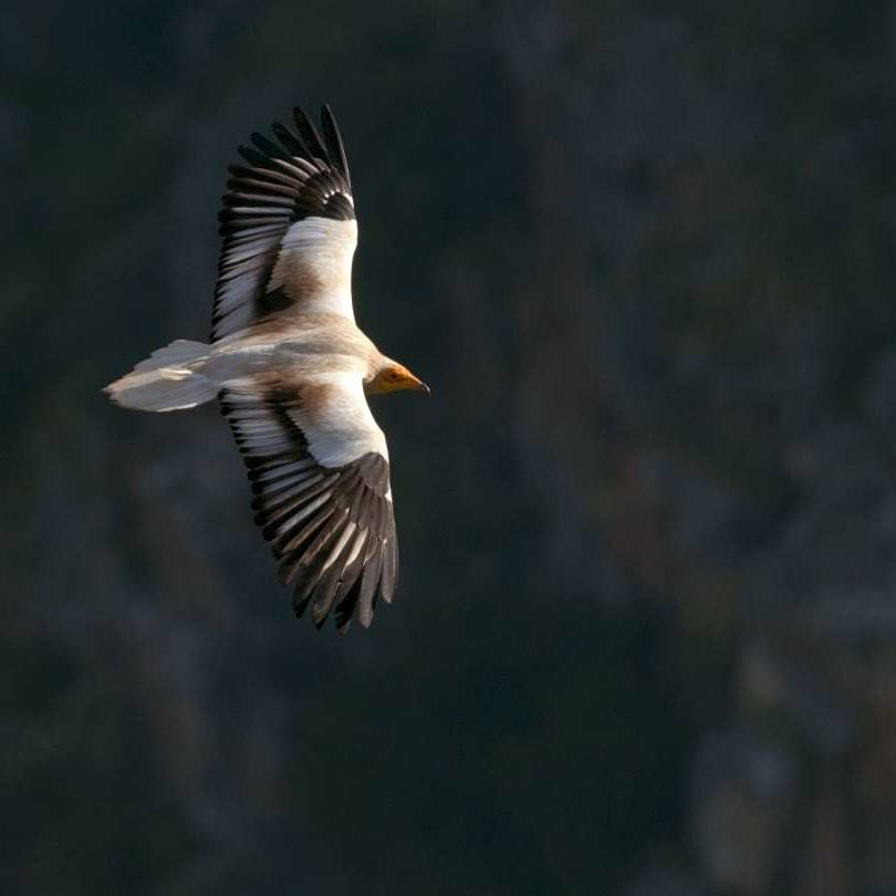 An Egyptian vulture soaring over the douro valley
