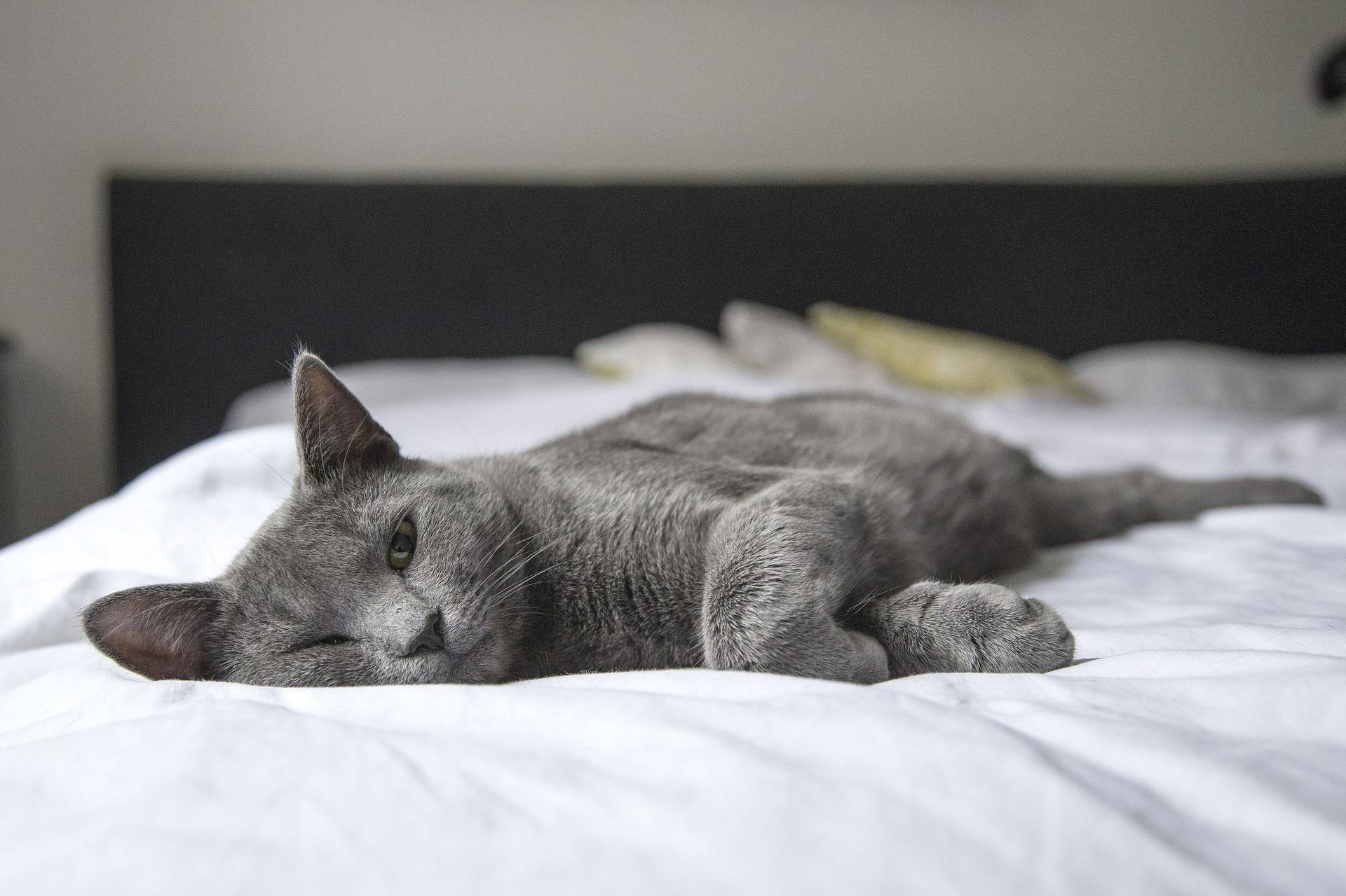 A domestic cat lies on its owners bed