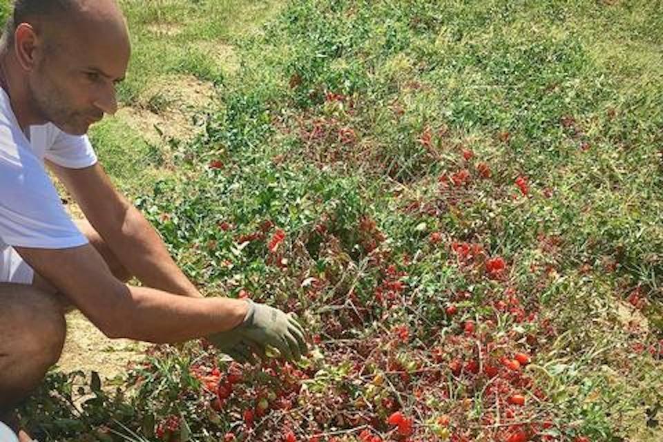 Michele Nardini in Le Marche examines tomatoes forPassata