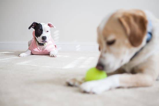 A young dog lays and chews on a tennis ball as another dog jealously looks on