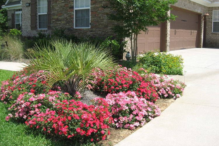 Drift Rose Care Colors And Landscape Ideas Plantingtree Com