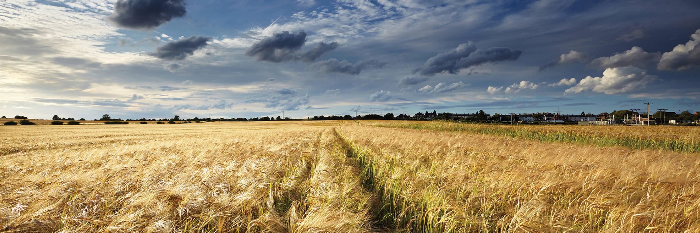 Blendtec Wheat Field