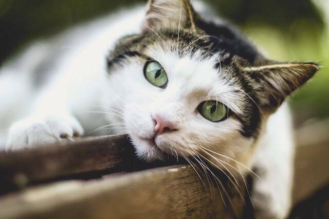 Lactose Intolerance in Cats: Is Milk Good for My Cat?