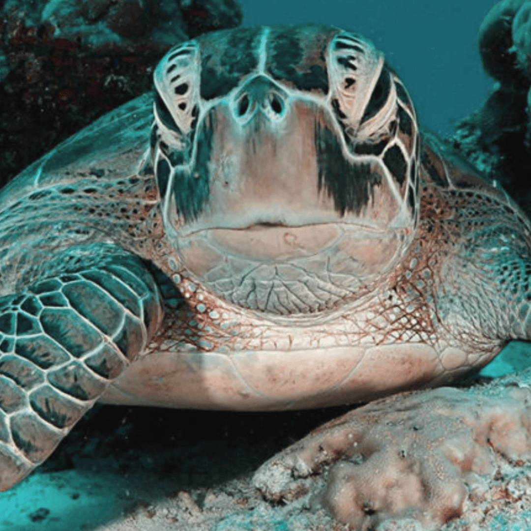 maldives snorkel turtle