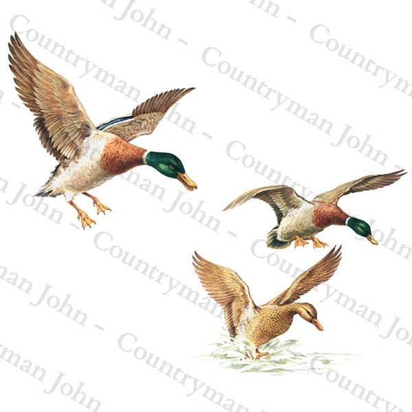 Countryman John Ducks coming in to Land Artwork - 701