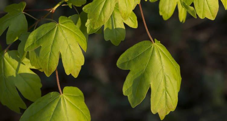 Pruning Field Maple