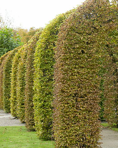 When to prune a beech hedge