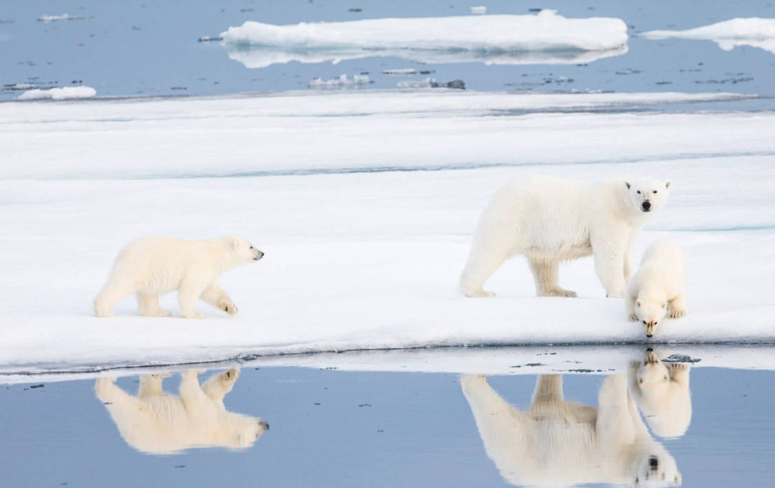 Polar Bears of Svalbard Norway Wildlife photography tour and expeditions