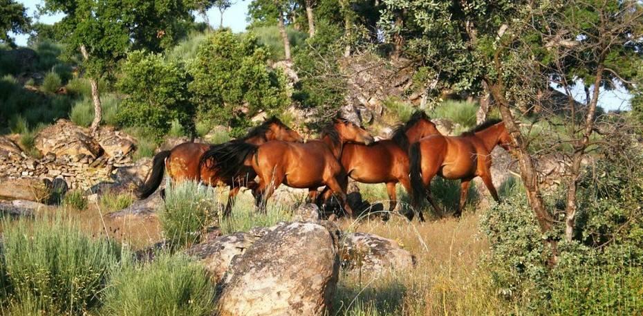 Wild living horses roaming in a oak woodland