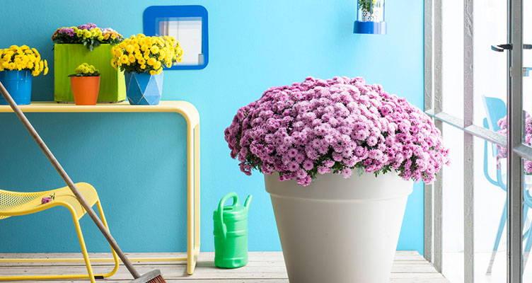 Garden plant: (Potted) Chrysanthemum