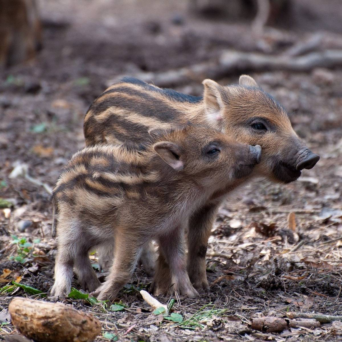 Two young wild boar in a forest
