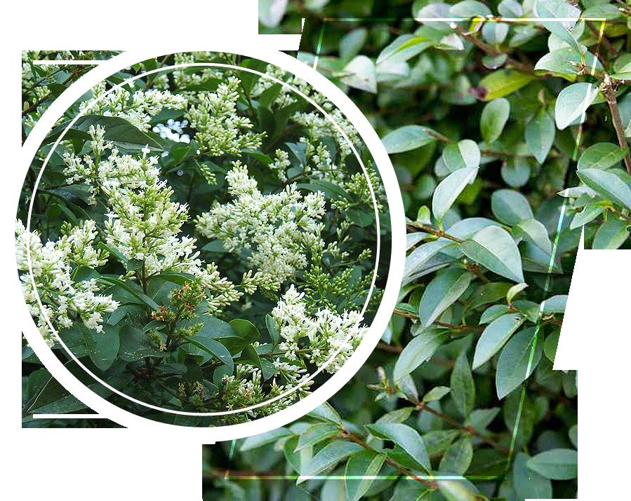 Privet plants