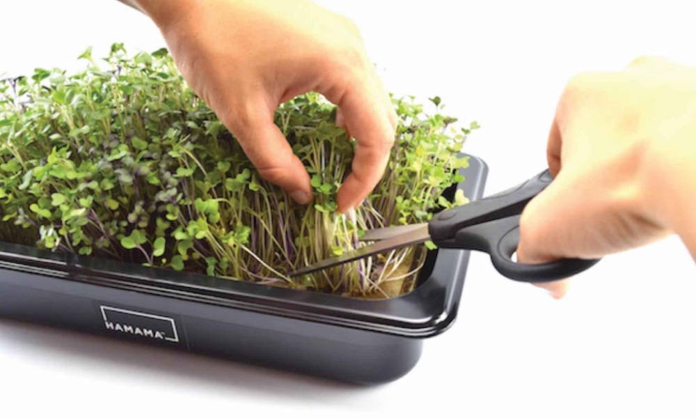 Steps for growing microgreens and micro herbs in a microgreen kit. Harvest fully grown microgreens and micro herbs.