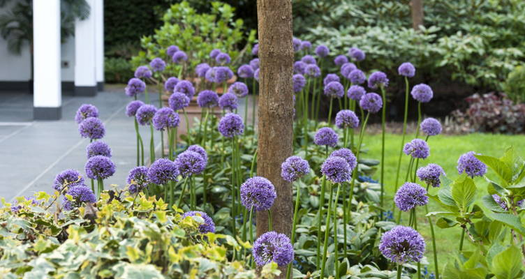 Flower Bulb: Allium