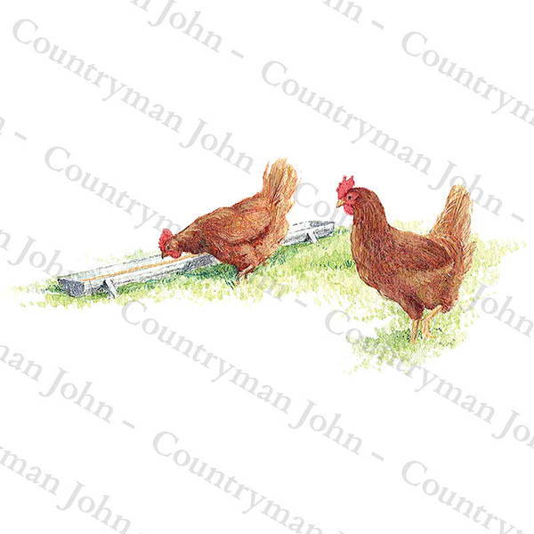 Countryman John Drinking Hens Artwork - 1104
