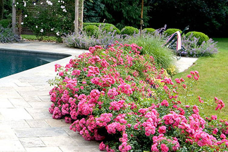 Drift Rose Landscape Ideas