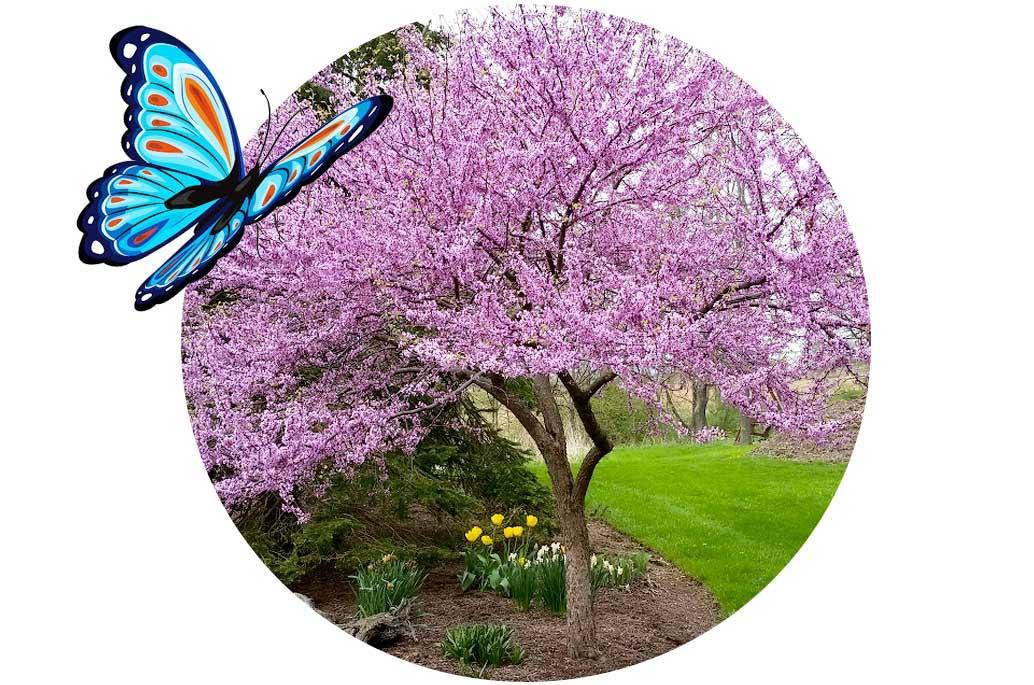 Flowering Dwarf Trees Attract Butterflies