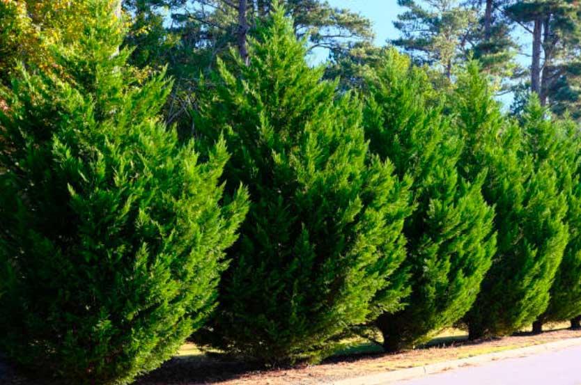 leyland cypress for sale