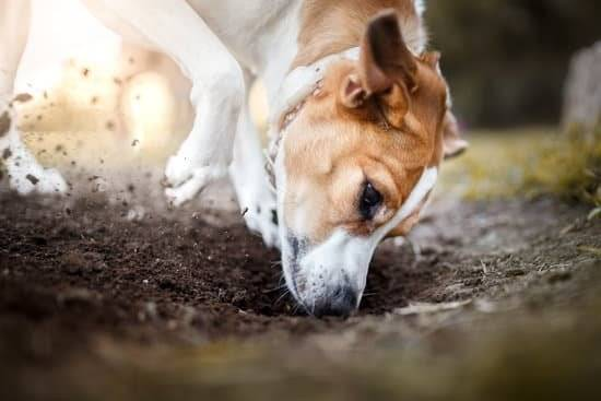 a brown and white dog digging in the dirt
