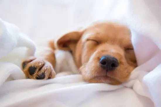 Can CBD Oil Help My Dog Sleep? - SitStay