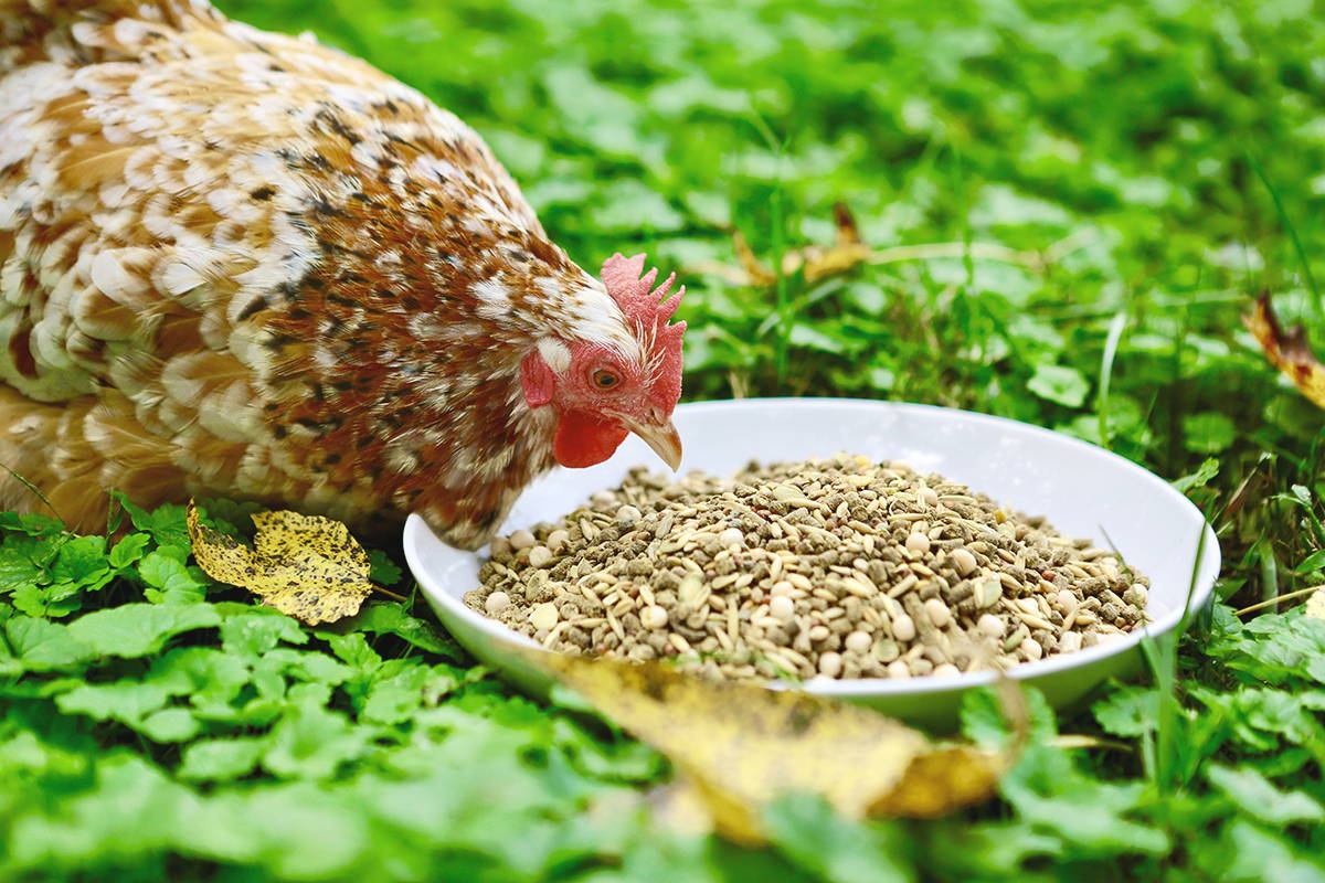5 Tips for Molting Chickens