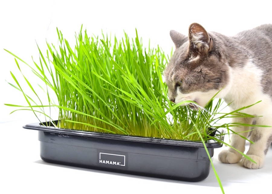 White and gray cat eating grass grown in a cat grass kit.