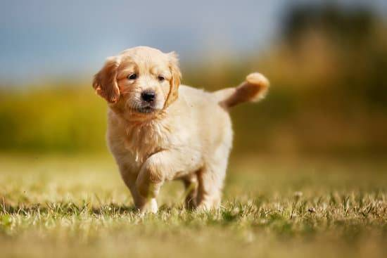 a golden retriever puppy playing outside on a sunny day