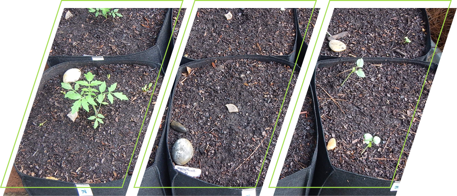 A row of grow bags in the garden