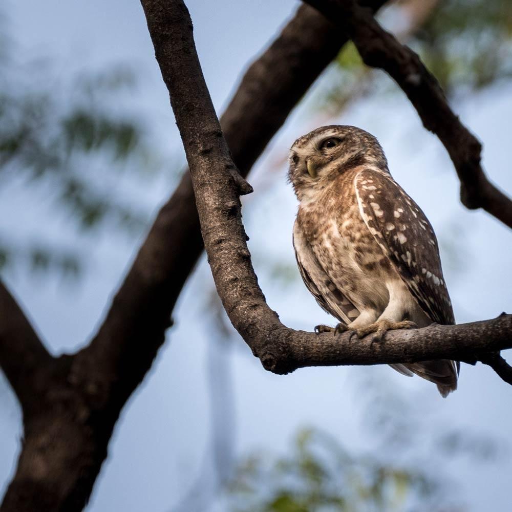 Travelbay India Tours - Customer Reviews - Simon & Gina in India - Chambal Safari little owl