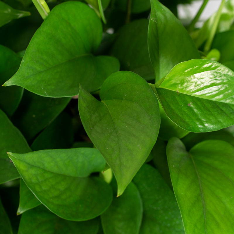 Pothos Plant Leaves