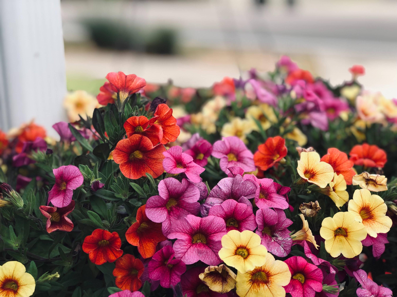 petunia fiore da balcone